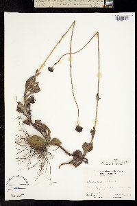 Image of Helianthus radula