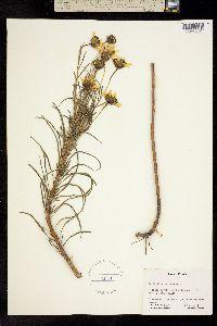 Image of Helianthus salicifolius