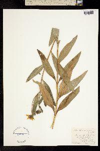 Image of Helianthus x laetiflorus