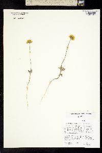 Image of Heliomeris soliceps