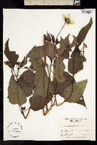 Image of Heliopsis helianthoides