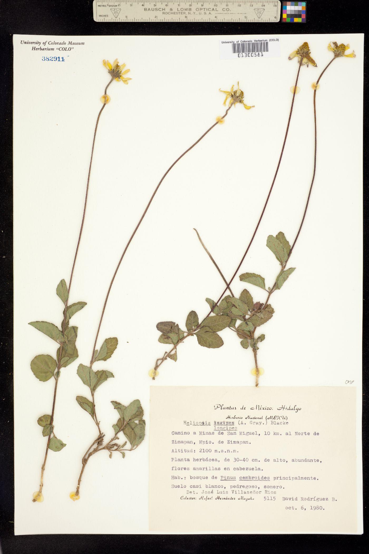 Heliopsis longipes image