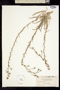 Hemizonia clevelandii image