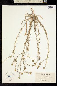 Image of Hemizonia clevelandii