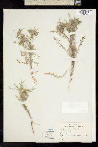 Image of Centromadia fitchii