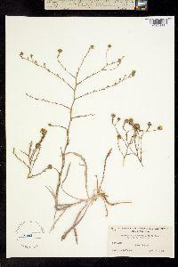 Image of Hemizonia lutescens