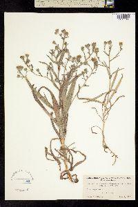 Image of Hemizonia multicaulis
