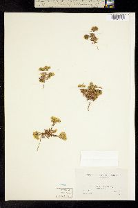 Image of Deinandra paniculata
