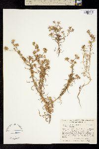 Image of Hemizonia parryi