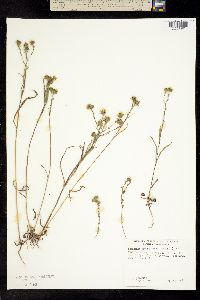 Image of Hemizonia tracyi