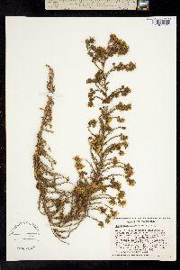 Image of Deinandra floribunda