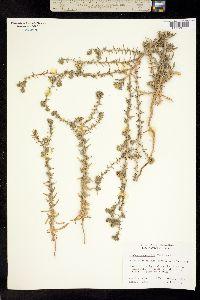 Image of Hemizonia australis