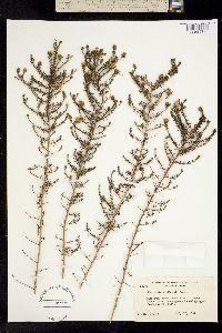 Image of Deinandra minthornii