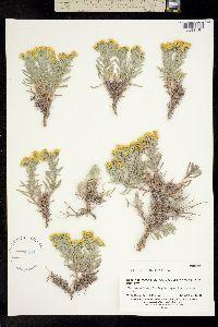 Image of Hemizonia palmeri