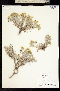 Hemizonia palmeri image