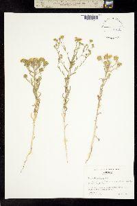 Hemizonia pallida image