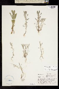Image of Hesperevax sparsiflora