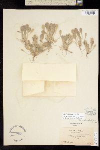 Image of Hesperevax caulescens