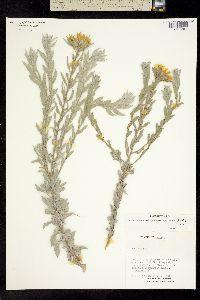 Image of Heterotheca echioides