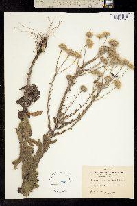 Image of Heterotheca gossypina