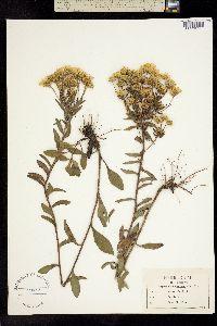Image of Heterotheca mariana