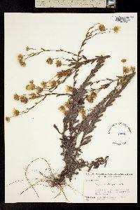 Image of Heterotheca trichophylla