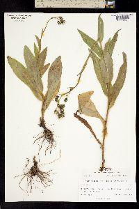 Hieracium crepidispermum image