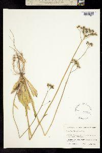 Image of Hieracium piloselloides