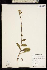 Image of Hieracium marianum