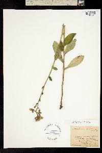 Image of Hieracium scabrum