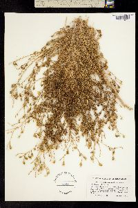 Image of Holocarpha obconica