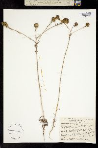 Image of Holocarpha macradenia