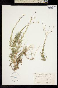 Holozonia filipes image