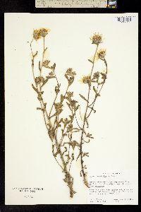 Hulsea brevifolia image