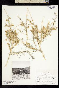 Ambrosia salsola image