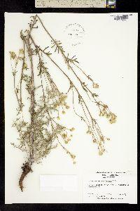 Image of Hymenopappus scabiosaeus