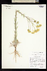 Image of Hymenoxys cooperi