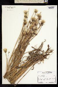 Hypochaeris glabra image