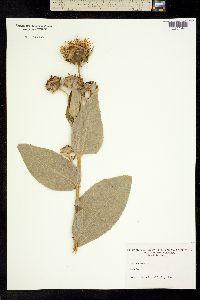 Image of Inula helenium