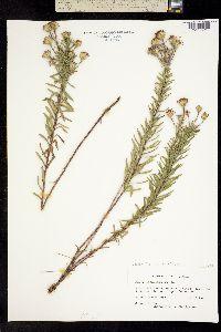Image of Ionactis linariifolia