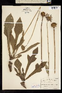 Iostephane heterophylla image