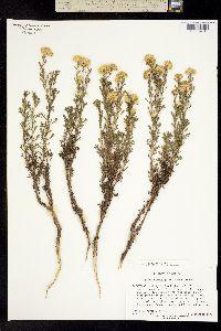 Isocoma coronopifolia image