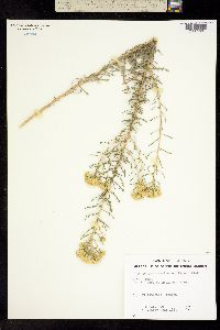Isocoma tenuisecta image