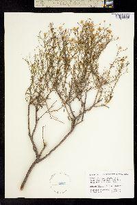 Image of Isocoma palmeri