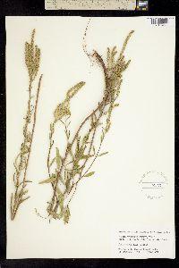 Image of Iva angustifolia