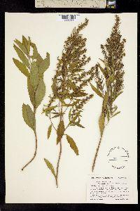 Image of Iva frutescens
