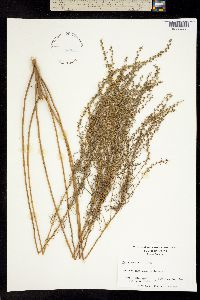 Image of Iva microcephala