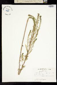 Image of Iva asperifolia