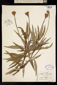 Chaetymenia peduncularis image