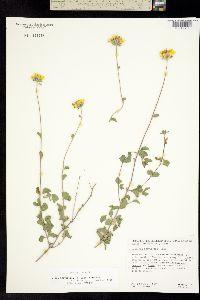 Image of Jefea brevifolia